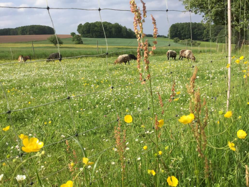 Schafe und Ziegen auf der Weide